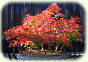 Acer palmatum forest picture